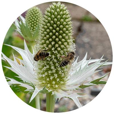 Bienen Helfen Bienenfreundliche Stauden